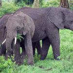 Elephants on the African Safari (Kate Kishfy)
