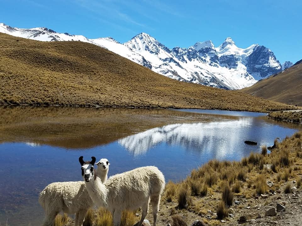 Alpacas in front of Condoriri (Ray Dames)