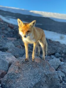 Red Fox on Elbrus (Tim Hardeman)