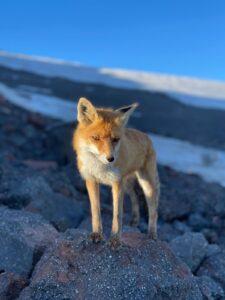 The red fox (Tim Hardeman)